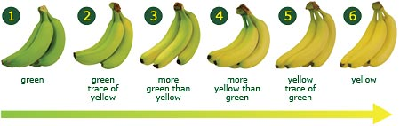 6 stages of banana ripening